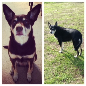 My dog on the left, ranch-dog on the right. Crazy, huh? They look like doggie twins!